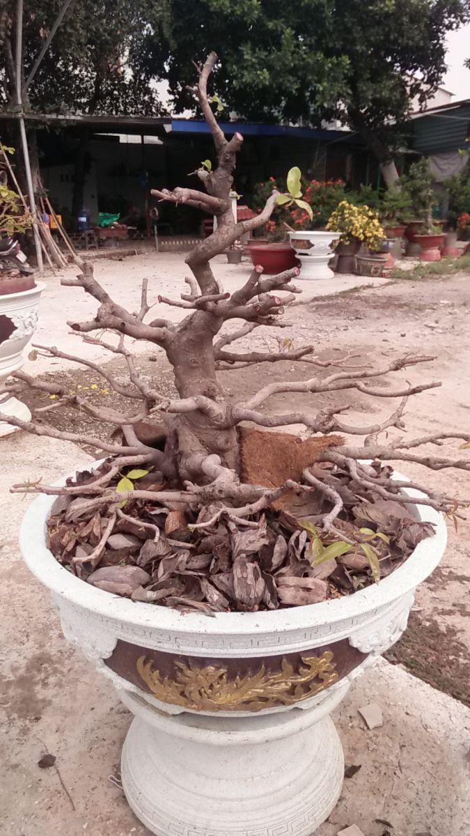 https://vuonmaithuduc.vn/san-pham/mai-vang-bonsai